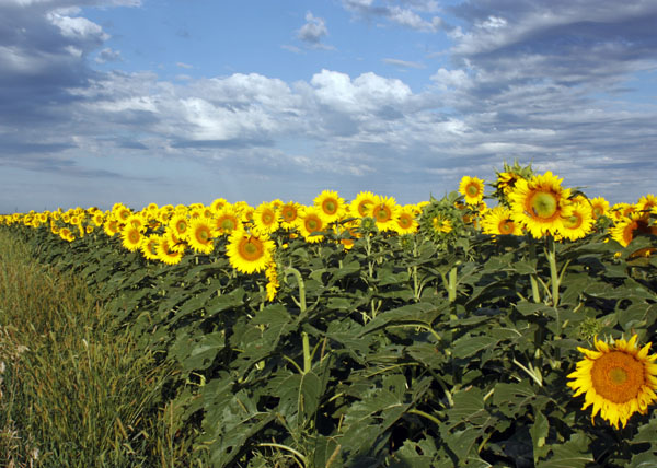 Sunflowers decorating the landscape.