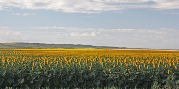 Rows and rows of sunflowers fill the field.