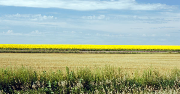 Patches of yellow in the distance...Sunflowers!