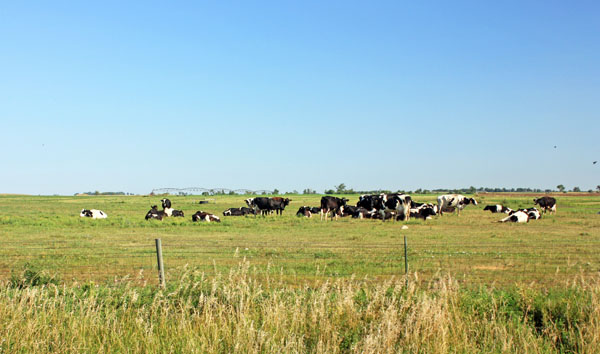 A herd of cattle hanging on the prairie.