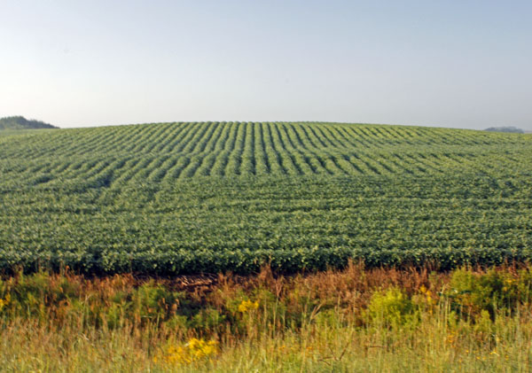 Rows of soybeans looked like green corduroy.
