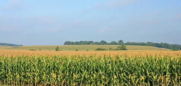 More corn as far as the eye can see.