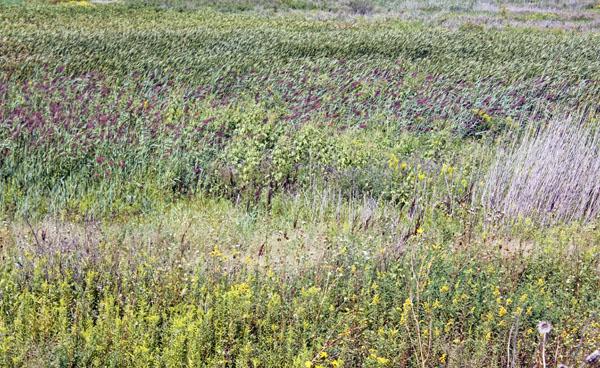 Illinois prairie grasses.